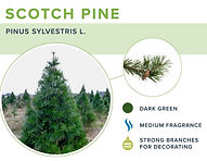 types-of-christmas-trees-scotch-pine.jpg