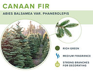 types-of-christmas-trees-canaan.jpg