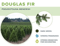 types-of-christmas-trees-douglas-fir.jpg