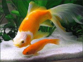 Jeune poisson rouge vs poisson adulte