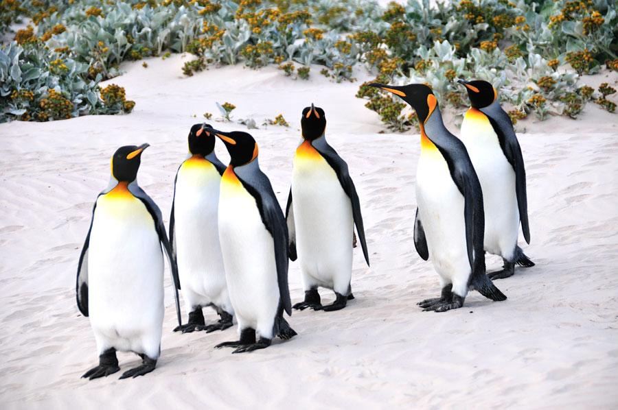 King Penguins, Falkland Islands