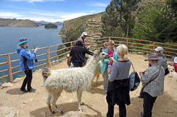 Lunchtime for the llamas