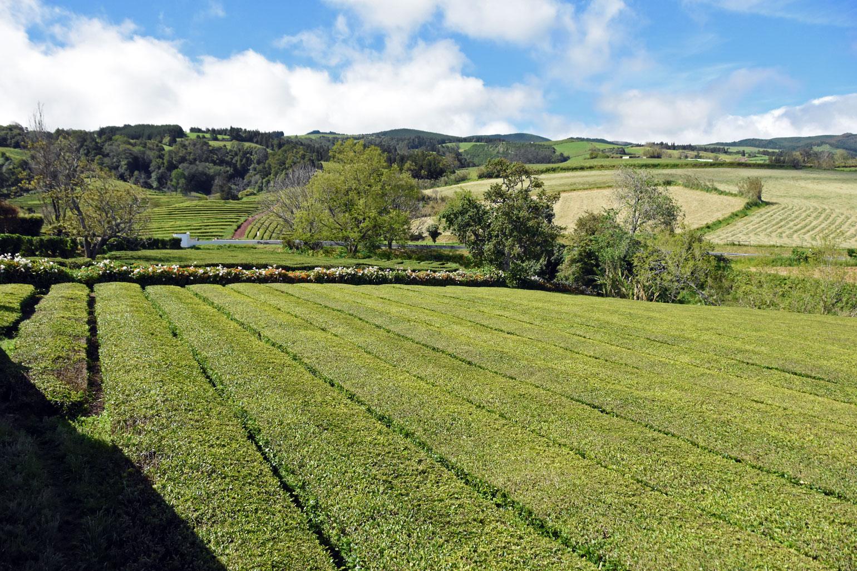 Gorreana Tea Plantation