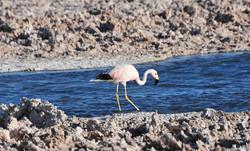 Andean Flamingo at Salar de Atacama,