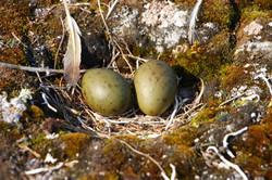 Sabine's gull nest -IPratte