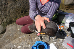 IPratte with a common murre -IPratte