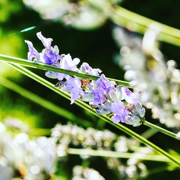 23. Lavender