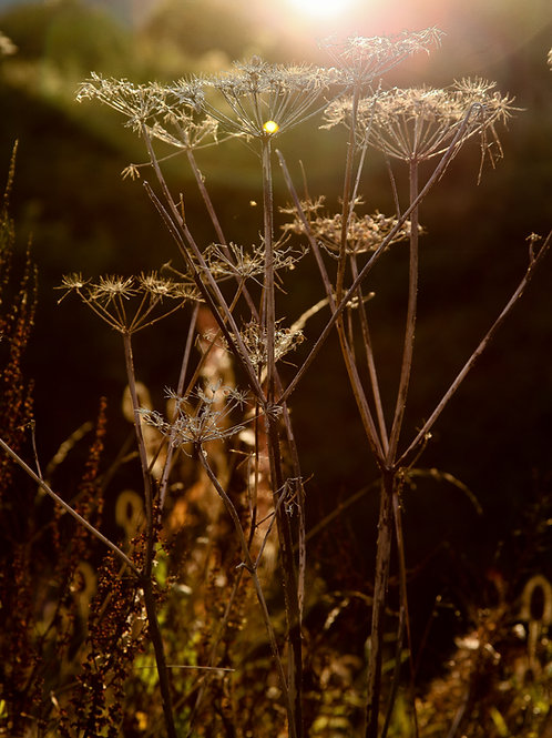 32. Seedheads at sunset