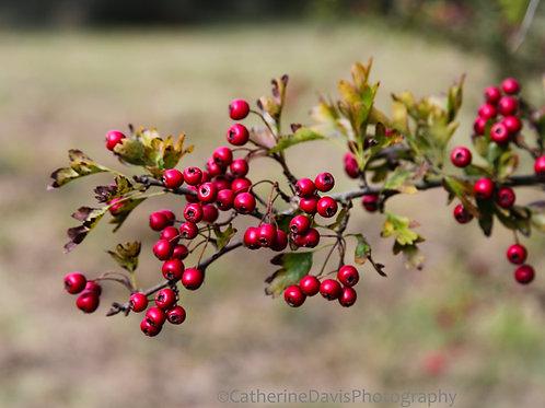 29. Hawthorn Harvest