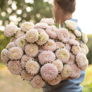 China Aster - Lady Coral Chamois