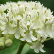 Milkweed - Creamy White