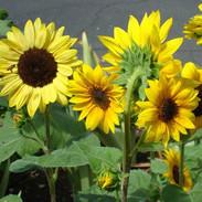 Sunflowers - Short Blend