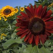 Sunflowers - Tall Blend