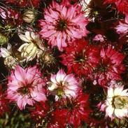 Nigella - Mulberry Rose