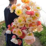 Iceland Poppies - Sherbet Mix