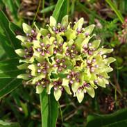 Milkweed - Green Milkweed