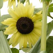 Sunflowers - Lemon Queen Organic