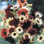 Sunflowers - Razzmatazz Mix