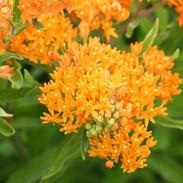 Milkweed - Butterfly Bush.jpg