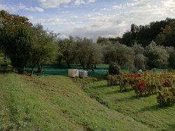 The nets in the olive yard