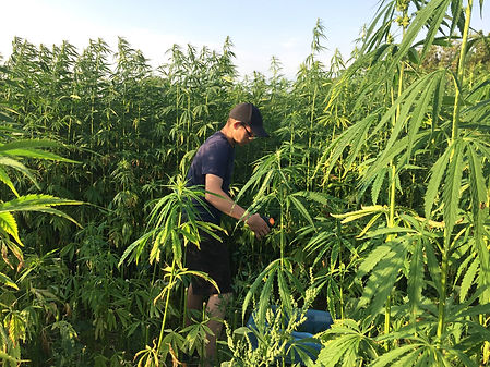 hemp harvest check.jpg