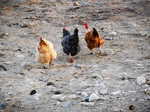 Chickens (1).JPG
