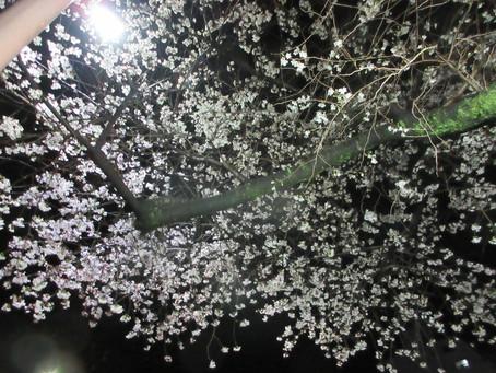 桜の樹の下には屍体が埋まっている。