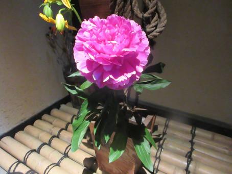 お見事です。芍薬、そんな花咲く人生送りたい。