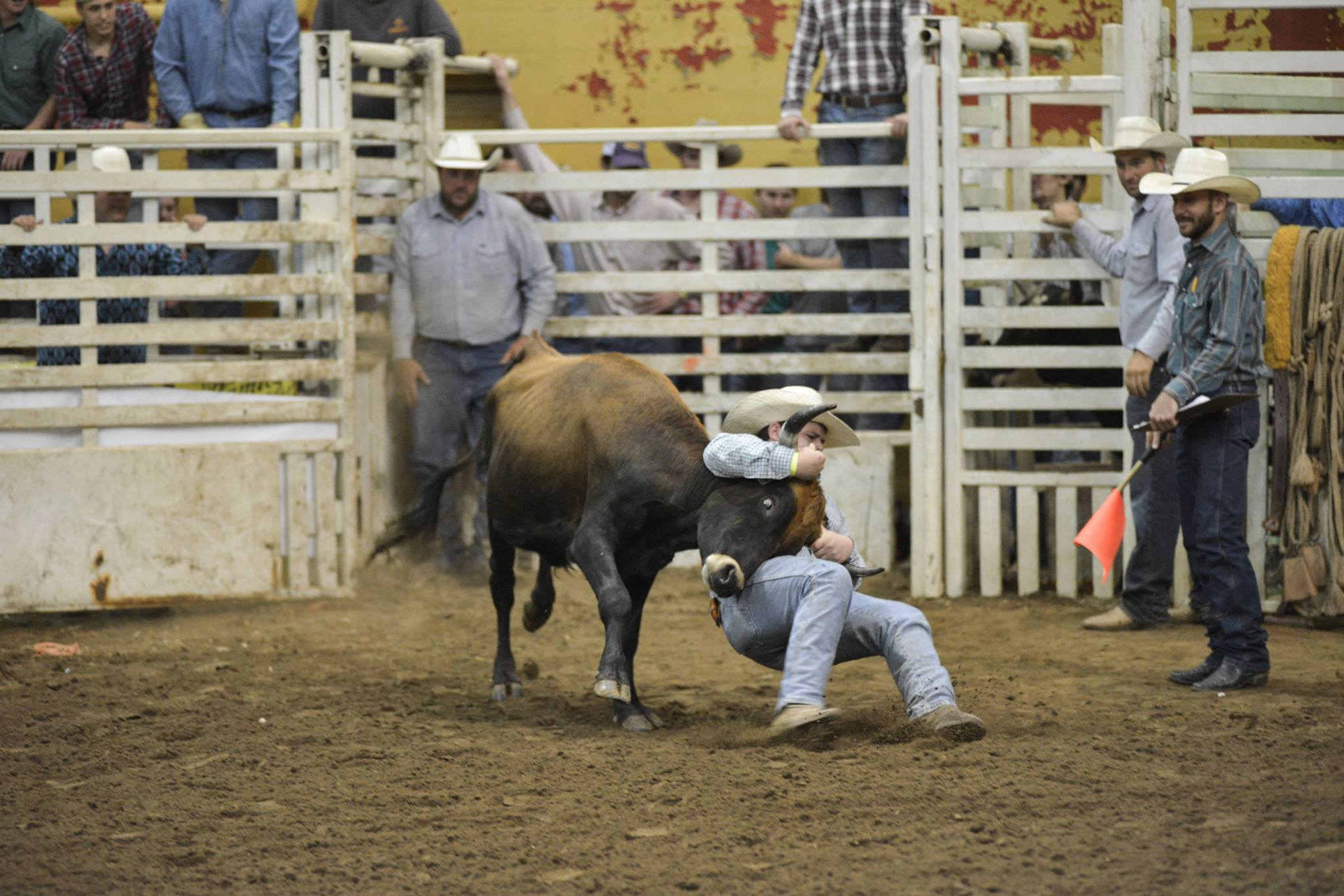 rodeo steer wresteling