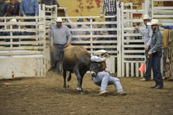 rodeo steer wresteling
