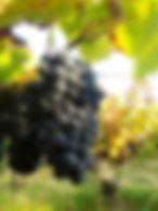 Pinot 2014 3.jpg