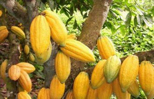 cacao de qualité