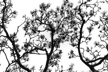 Chinese Cherry Blossoms