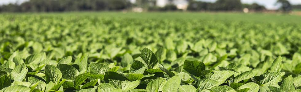 Plantio de soja triplica em uma semana e atinge 25% da área no Mato Grosso