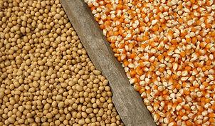 corn-and-soybean_AdobeStock_65631699 soj