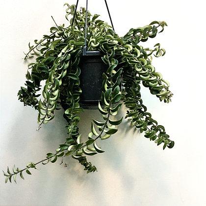 Aeschynanthus Twister D15