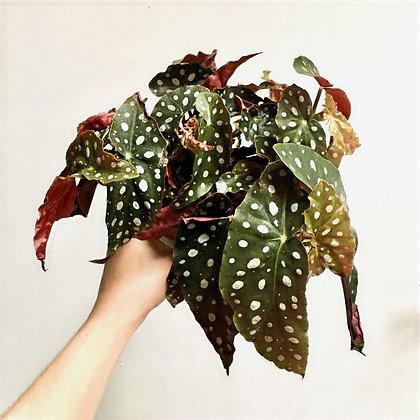 Begonia Maculata D12