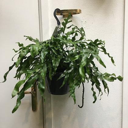 Microsorum Diversifolium D18