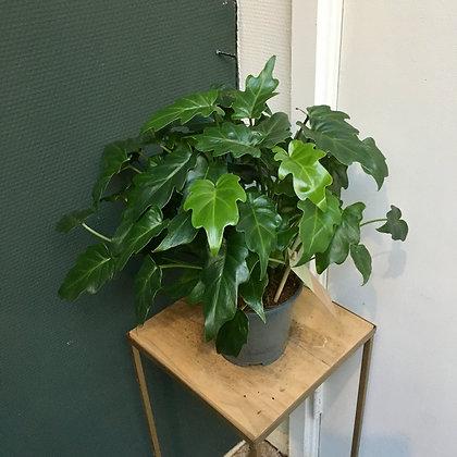 Philodendron Xanadu D14