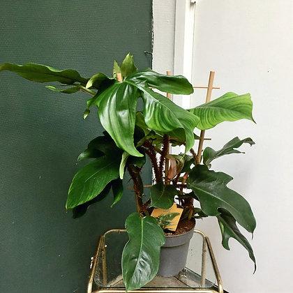 Philodendron Squamiferum D17x60cm