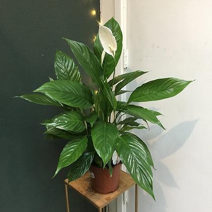 Spathiphyllum D19