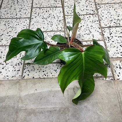 Philodendron Squamiferum D 12cm