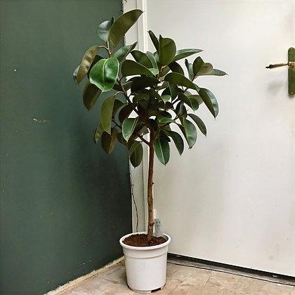 Ficus Elastica D27x130cm