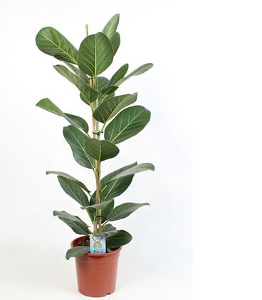 Ficus 'Audrey' D21x90cm