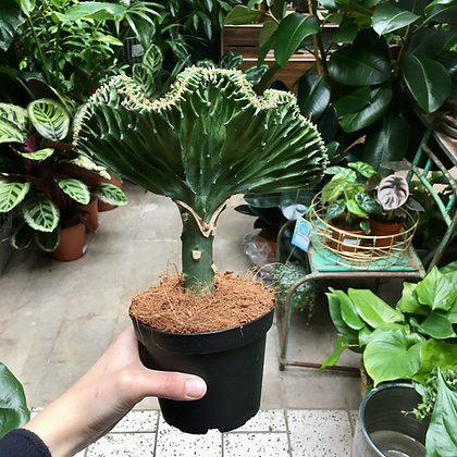 Euphorbia Cristata D12