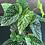 Thumbnail: Begonia Snowcap D17 (40cm hoog)