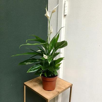 Spathiphyllum D 12cm