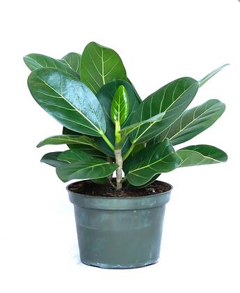 Ficus Audrey D 12cm