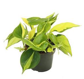 Philodendron Scandens Brasil D 12cm