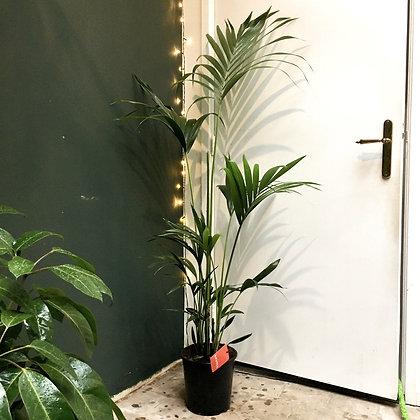 Kentia Palm D24x170cm